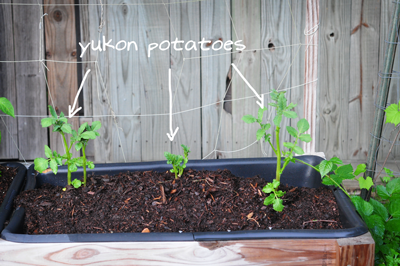 yukon-potatoes